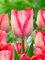 Tulip Pink Sound