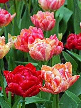 Photo of Tulip Peptalk