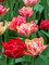 Tulip Peptalk