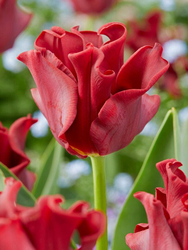 Tulip Red Dress