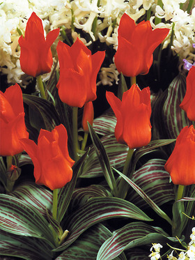 Shorter, early, & sturdy. Large bright scarlet blooms. 10 bulbs