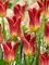 Tulip Striking Match