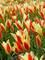 Tulip Clusiana Tinka