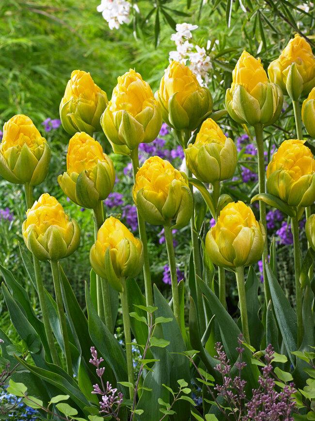 Tulip Vanilla Coup
