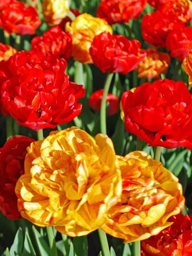 Tulip Volcano Inspiration