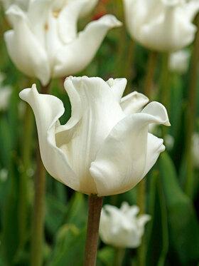 Photo of Tulip White Liberstar