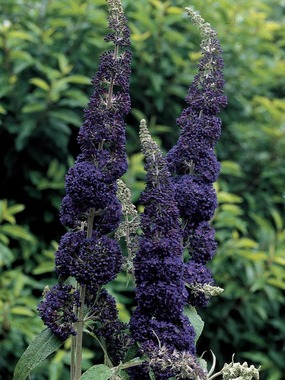 SHRUB.  A Silver Medal winner in deepest purple blue.