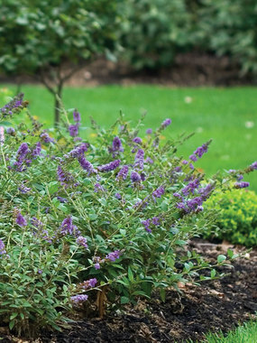 SHRUB.  New miniature Butterfly bush, Lo & Behold Series.