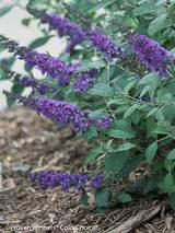 Buddleia Blue Chip Jr