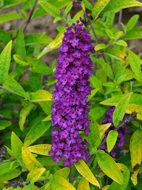 Photo of Buddleia Little Nugget