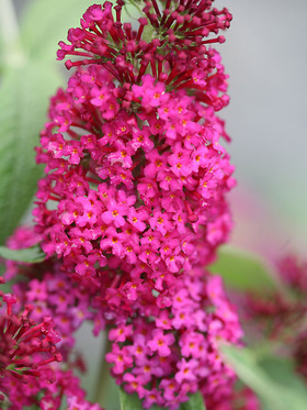 Bright red compact Butterfly Bush