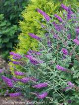 Buddleia Miss Violet