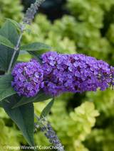 Buddleia Purple Haze