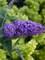 Buddleia Purple Haze