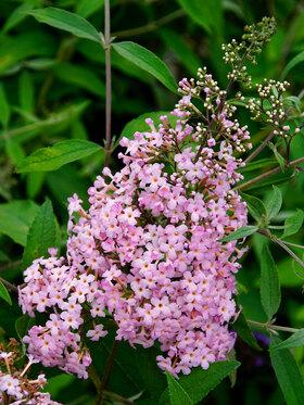 Photo of Buddleia Pink Cascade