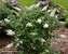 Buddleia Pugster White