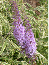 Buddleia Summer Skies