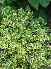 Buxus Wedding Ring