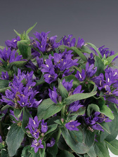 Campanula Bellefluer Blue