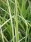 Carex Bowles Golden