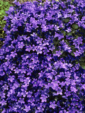 Deer resistant, blooms all summer, nodding purple blue cups