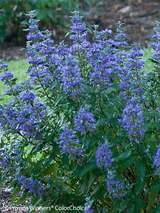Caryopteris Beyond Midnight™