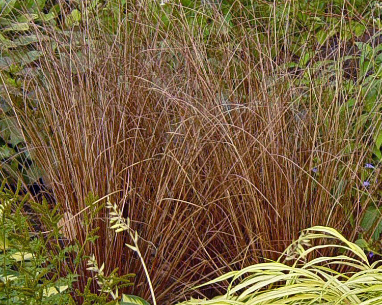 Grasses bronze and vase on pinterest for Tall thin ornamental grasses