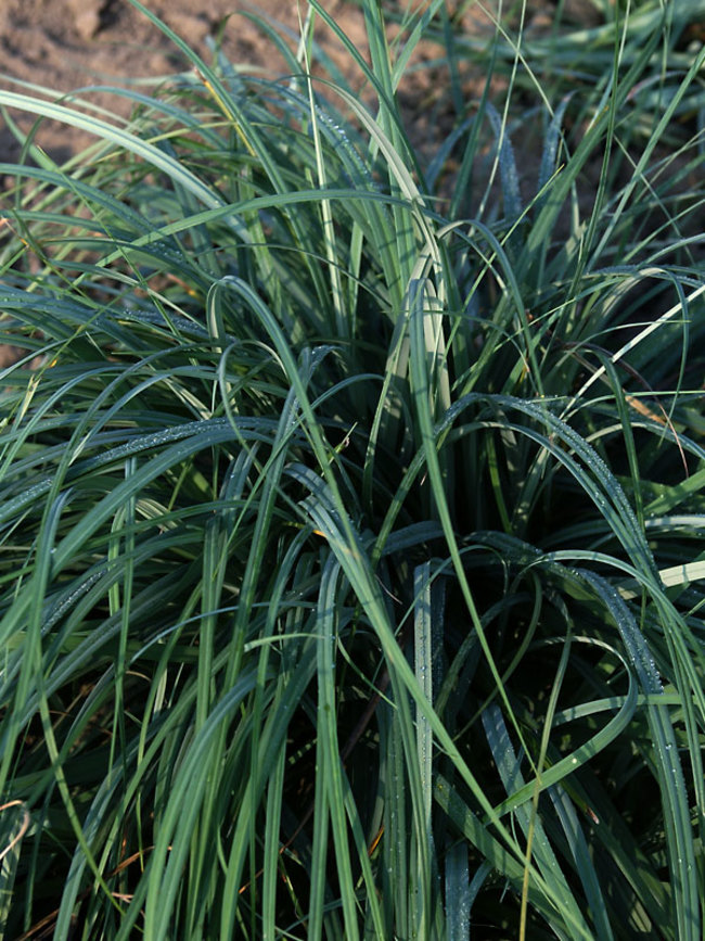 Carex Blue-Zinger