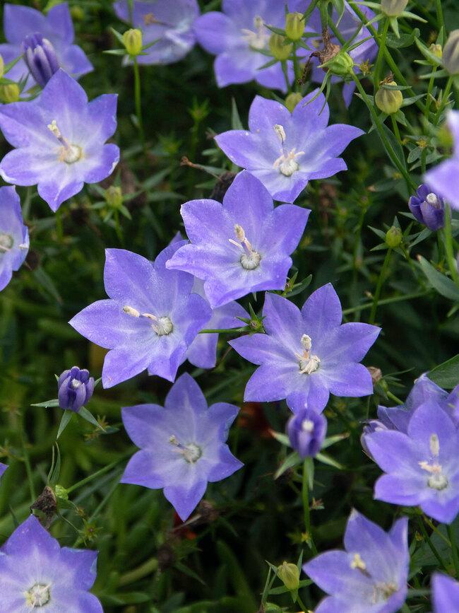 Campanula Cariboo Blue
