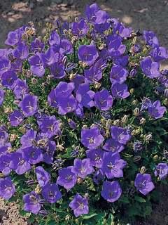 Campanula groundcover plants mightylinksfo