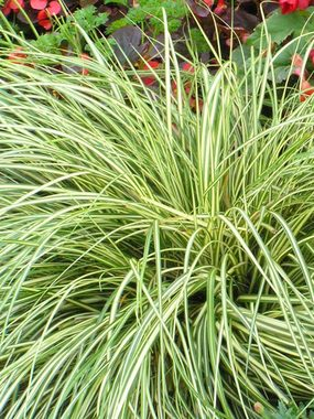Carex evergold bluestone perennials for Short variegated grass
