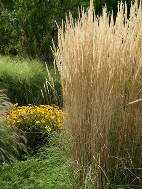 FEATHER REED GRASS. 5'