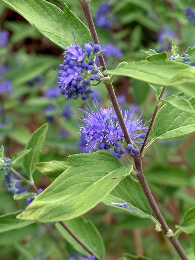 Caryopteris Longwood-Blue