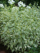 Caryopteris Snow Fairy