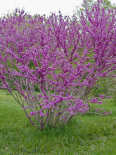Cercis Don Egolf
