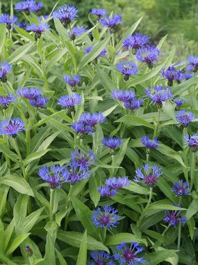Blue PERENNIAL BACHELOR BUTTON. Blooms a long time.