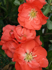 Chaenomeles Double Take Orange Storm