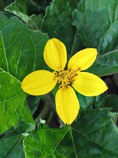 Yellow flowering perennials chrysogonum pierre mightylinksfo