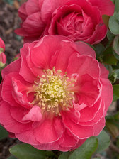 Chaenomeles Double Take Pink Storm