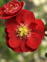 Chaenomeles Double Take Scarlet Storm