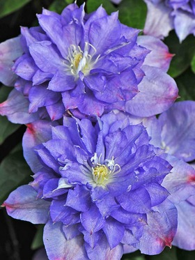 Semi-double, purple blue flowers with pink tips.