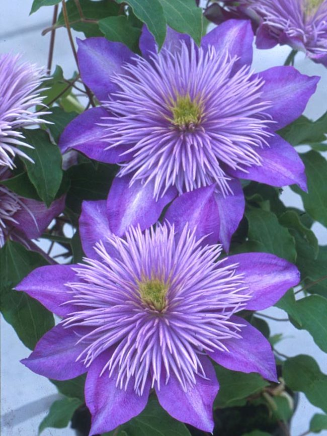 Clematis Crystal-Fountain