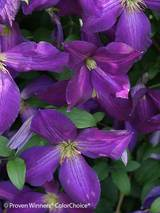 Clematis Happy Jack