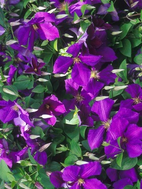 Deep purple flowers on vines.