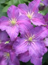 Clematis Jolly Good