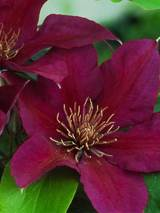 Clematis Picardy
