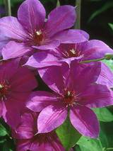Clematis Ruby Glow