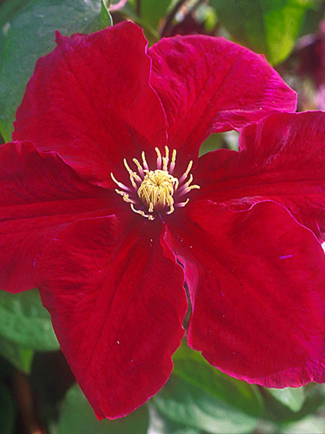 Clematis Rosemoor