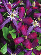 Clematis Sweet Summer Love