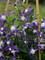 Clematis Violet Stardust